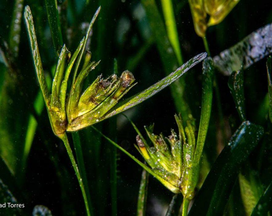 Floración Posidonia Marisol Torres 2